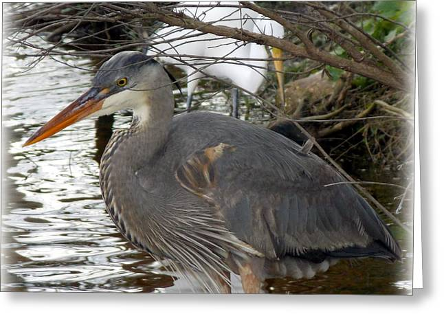 Great Blue Heron Framed Print Greeting Cards - Great Blue Heron Under Branch Greeting Card by Sheri McLeroy