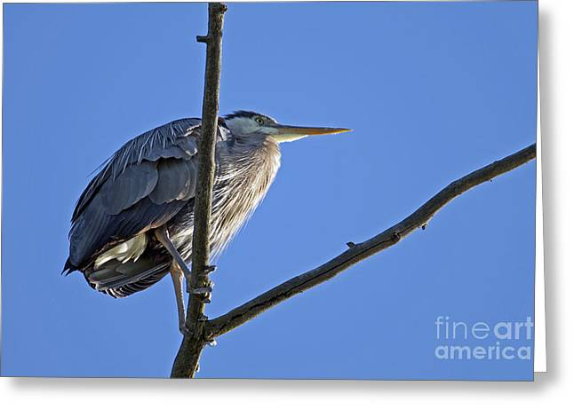 Hernia Greeting Cards - Great Blue Heron underside Greeting Card by Sharon  Talson