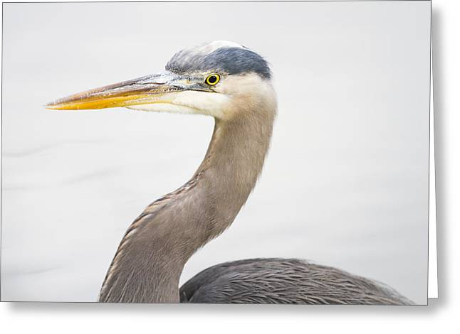 Hunting Bird Greeting Cards - Great Blue Heron Greeting Card by Windy Corduroy