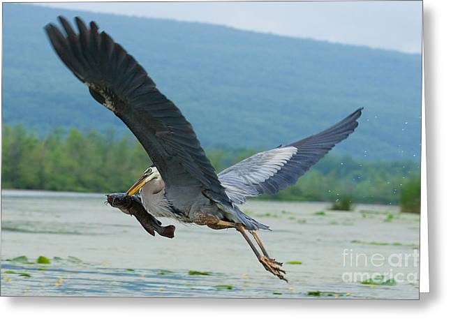 Canandaigua Greeting Cards - Great Blue Heron With Fish Greeting Card by Roger Bailey