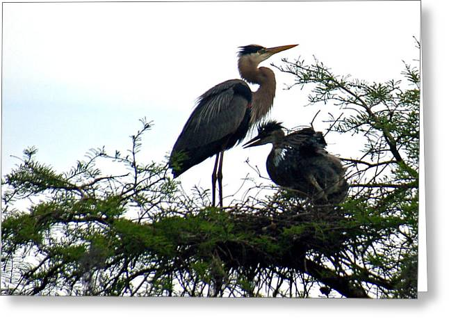 Baby Bird Greeting Cards - Great Blue Heron with Fledglings II Greeting Card by Suzanne Gaff