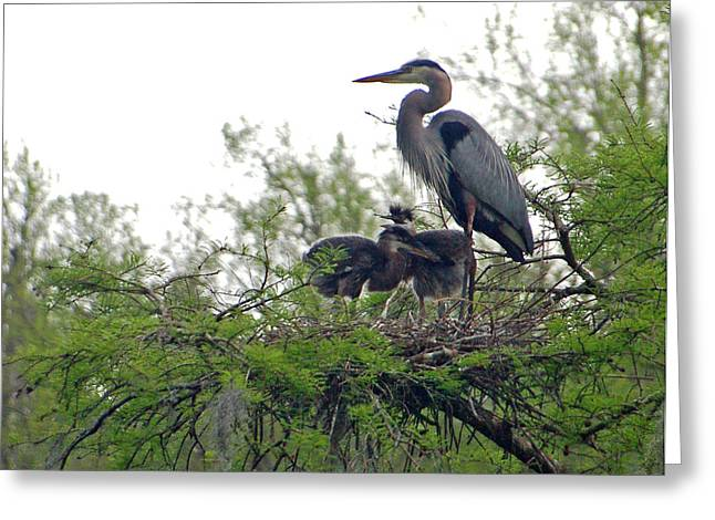 Great Birds Greeting Cards - Great Blue Heron with Fledglings Greeting Card by Suzanne Gaff