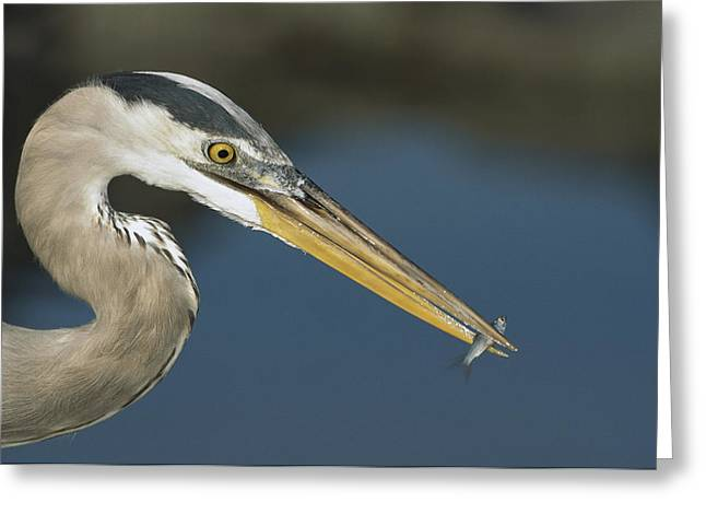 Predating Greeting Cards - Great Blue Heron With Juvenlile Mullet Greeting Card by Tui De Roy