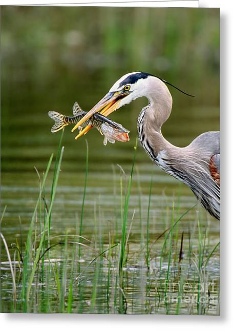 Pickerel Greeting Cards - Great Blue Heron With Prey Greeting Card by Scott Linstead