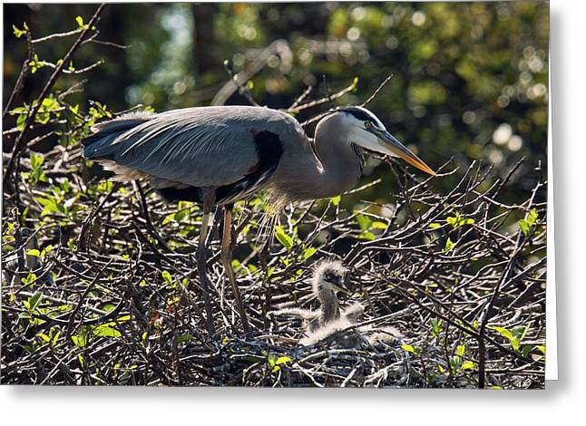 Great Blue Herons Greeting Card by Bob Gibbons