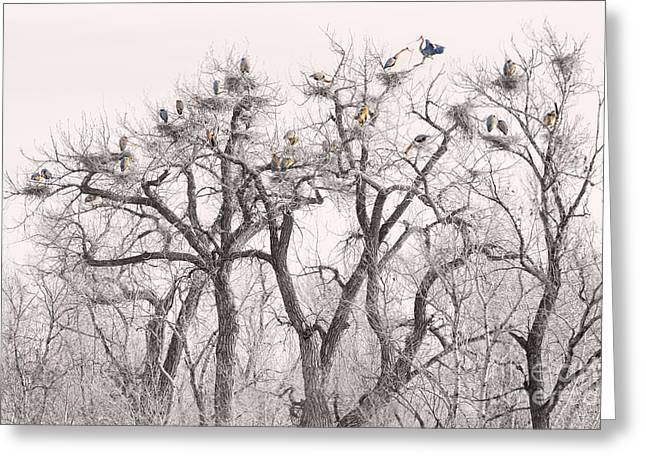 Wildlife Art Acrylic Prints Greeting Cards - Great Blue Herons Colonies  Greeting Card by James BO  Insogna
