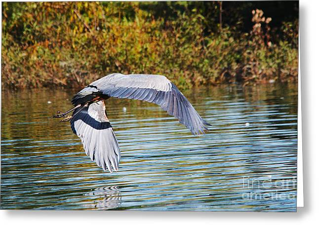 Blue Green Water Greeting Cards - Great Blue Herons In Flight Series 9 Greeting Card by Roy Williams