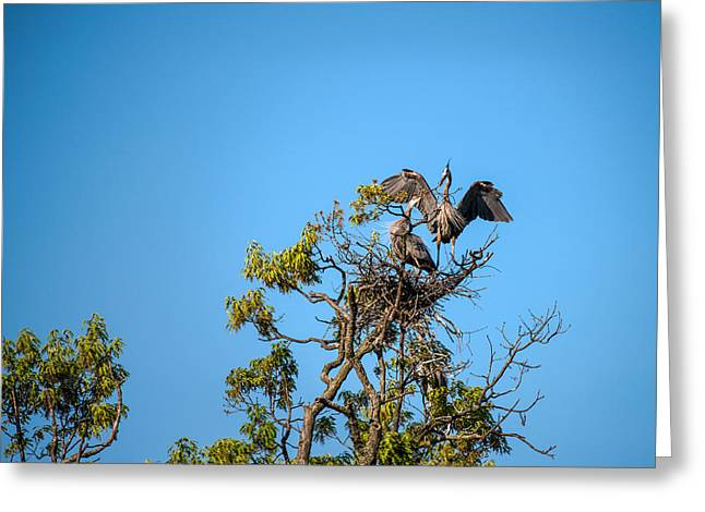 Great Blue Herons-the Handoff Greeting Card by  Onyonet  Photo Studios