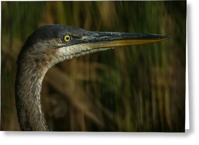 Fountain Creek Nature Center Greeting Cards - Great Blue Profile Greeting Card by Ernie Echols