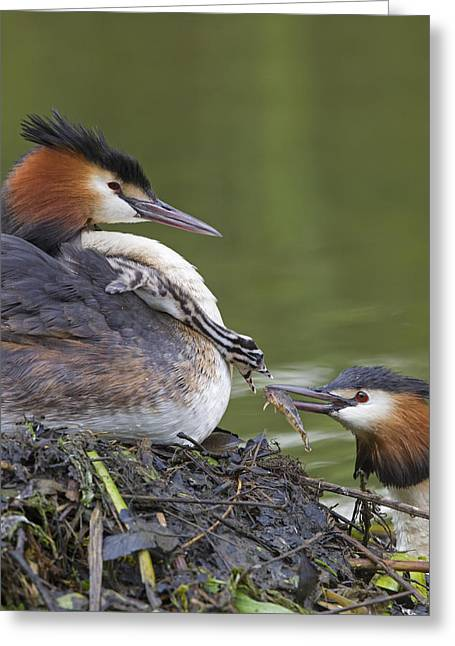 Great Crested Grebes Feeding Chick Greeting Card by Dickie Duckett
