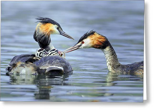 Animal Behaviour Greeting Cards - Great crested grebes Greeting Card by Science Photo Library