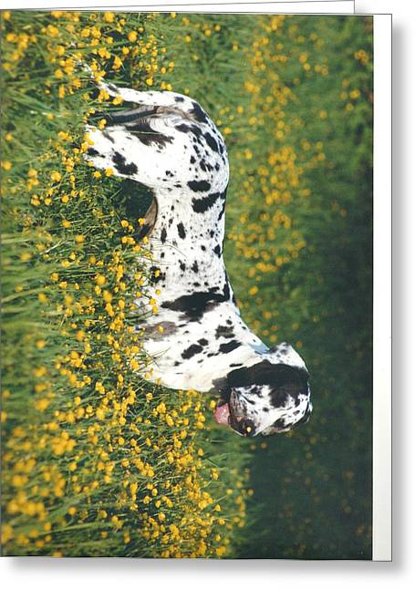 Harlequin Great Dane Pictures Greeting Cards - Great Dane Buttercup Nose in the Field Greeting Card by Jenny Crooks