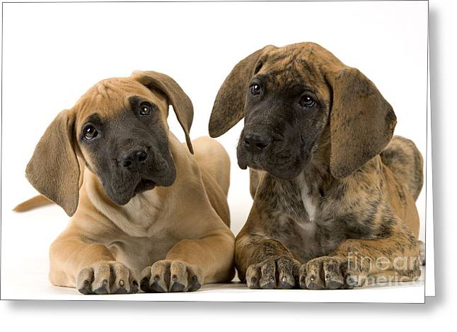 Head Tilt Greeting Cards - Great Dane Puppy Dogs Greeting Card by Jean-Michel Labat