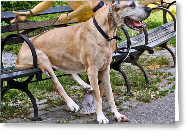 Great Dane Sitting On Park Bench Greeting Card by Madeline Ellis