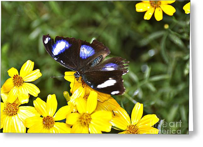 Tickseed Greeting Cards - Great Eggfly Butterfly Greeting Card by Diane E Berry
