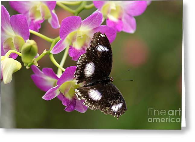 Black Greeting Cards - Great Eggfly Butterfly on Orchid Greeting Card by Eric Irion