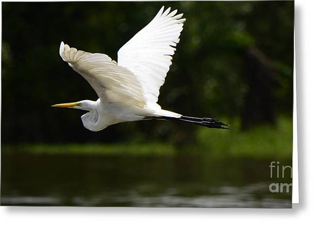 Great White Egret Greeting Cards - Great Egret Amazon River Greeting Card by Bob Christopher