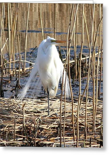 Chatham Greeting Cards - Great Egret Greeting Card by Amy Rounseville