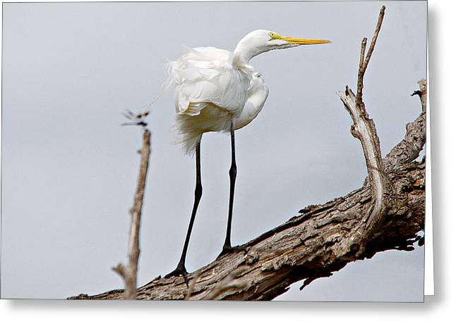 Hunting Bird Greeting Cards - Great Egret And Dragonfly Greeting Card by Roy Williams