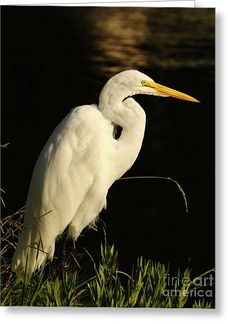D Wade Greeting Cards - Great Egret At Morning Greeting Card by Robert Frederick