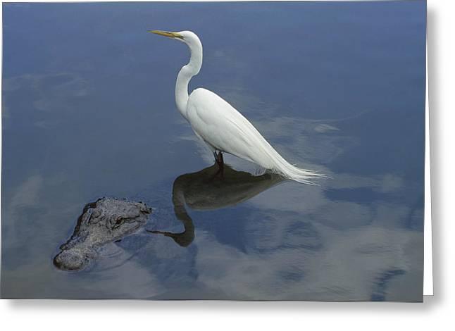 Louisiana Alligator Greeting Cards - Great Egret Atop American Alligator Greeting Card by Heidi & Hans-Juergen Koch