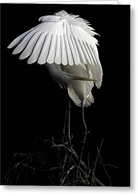 Great Egret Bowing Greeting Card by William Jobes