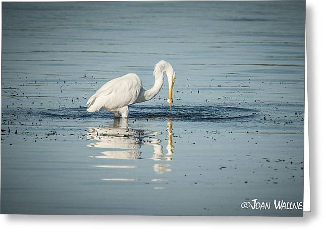 Englewood Greeting Cards - Great Egret Catch Greeting Card by Joan Wallner