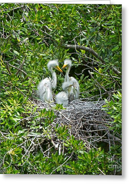 Fluffy Chicks Greeting Cards - Great Egret Chicks Greeting Card by Louise Heusinkveld