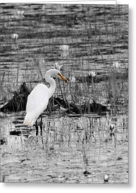 Wildlife Refuge. Greeting Cards - Great Egret Color Greeting Card by Dan Sproul