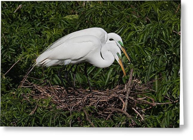 Cooperation Greeting Cards - Great Egret Couple Greeting Card by Dawn Currie