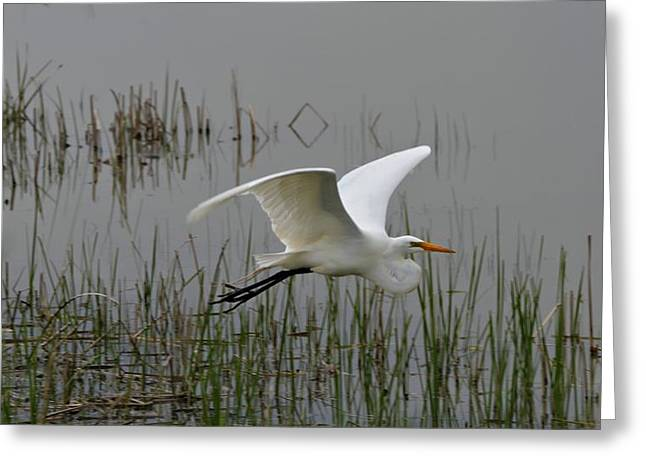D Wade Greeting Cards - Great Egret Flying Greeting Card by Dan Sproul