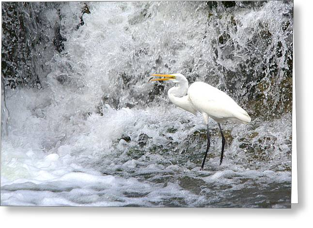 Water Fowl Greeting Cards - Great Egret Hunting At Waterfall Series 1 Greeting Card by Roy Williams