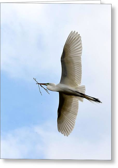 Alligator Farm Greeting Cards - Great Egret In Flight Greeting Card by Richard Bryce and Family