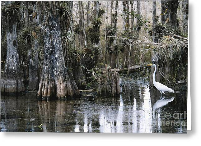 Epiphyte Greeting Cards - Great Egret In Florida Greeting Card by Mark Newman
