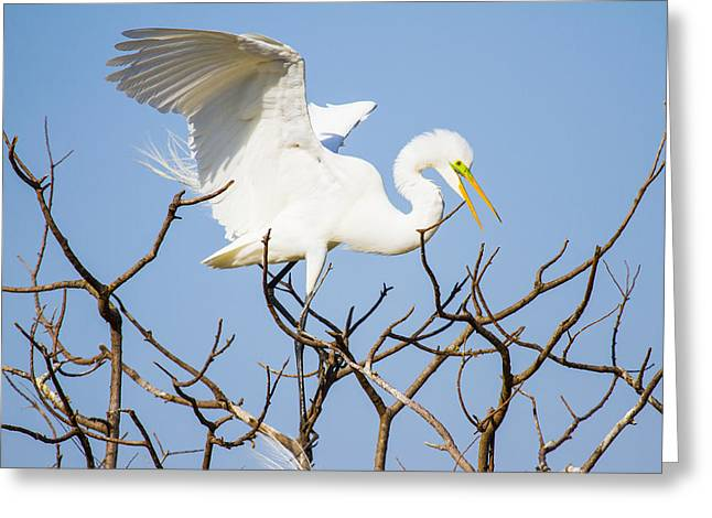White Bird Greeting Cards - Great Egret in Golden Hour Sunset Greeting Card by Ellie Teramoto