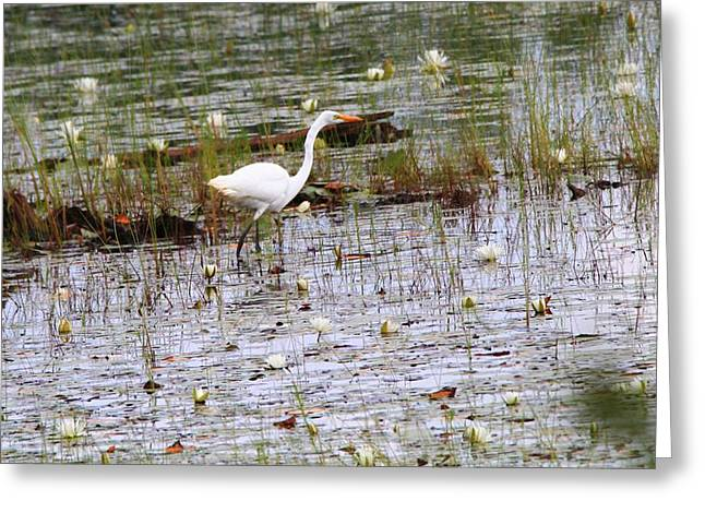 Wildlife Refuge. Greeting Cards - Great Egret In Seney National Wildlife Refuge Greeting Card by Dan Sproul