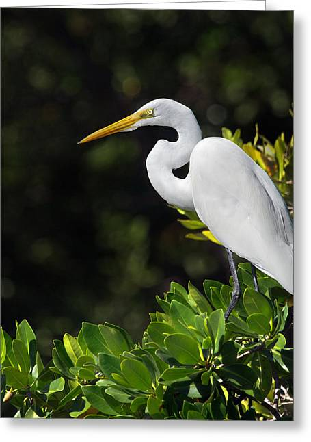 Great Egret In The Florida Everglades Greeting Card by Mr Bennett Kent