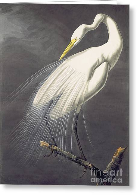 Wild Life Drawings Greeting Cards - Great Egret  Greeting Card by John James Audubon