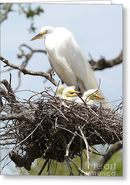 Baby Bird Greeting Cards - Great Egret Nest with Chicks and Mama Greeting Card by Carol Groenen