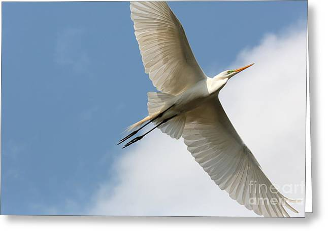Flying Bird Greeting Cards - Great Egret Overhead Greeting Card by Carol Groenen