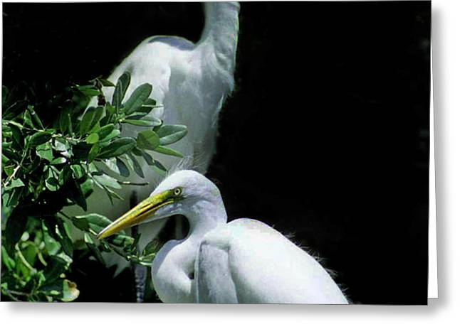 GREAT EGRET PAIR Greeting Card by Skip Willits