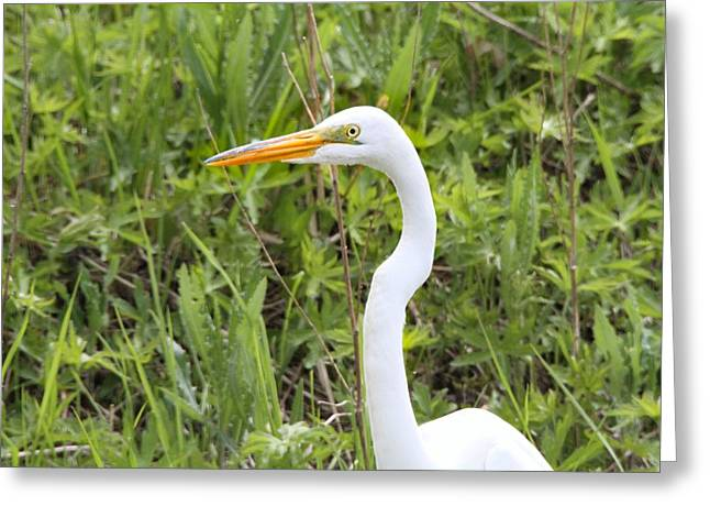 Wildlife Refuge. Greeting Cards - Great Egret Portrait Greeting Card by Dan Sproul