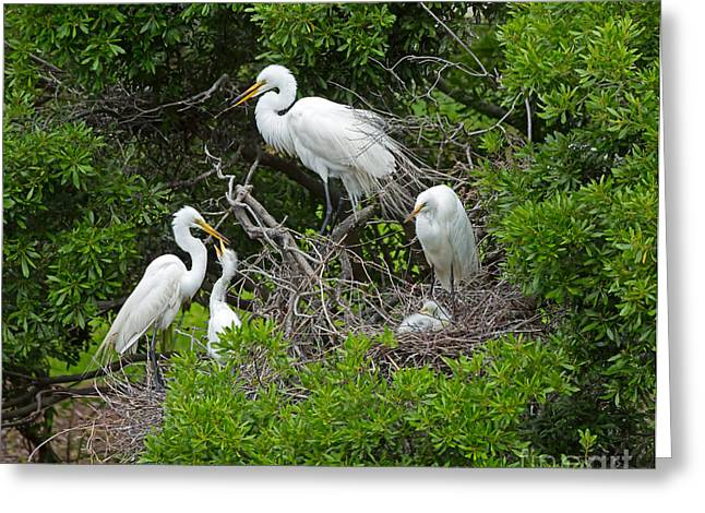 Fluffy Chicks Greeting Cards - Great Egret Rookery Greeting Card by Louise Heusinkveld