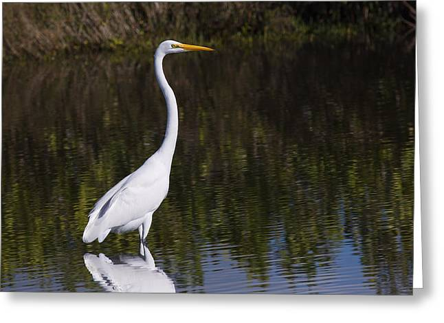 Merrit Greeting Cards - Great Egret Standing Out Greeting Card by John Bailey