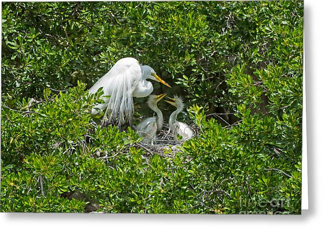 Fluffy Chicks Greeting Cards - Great Egret with Chicks on the Nest Greeting Card by Louise Heusinkveld