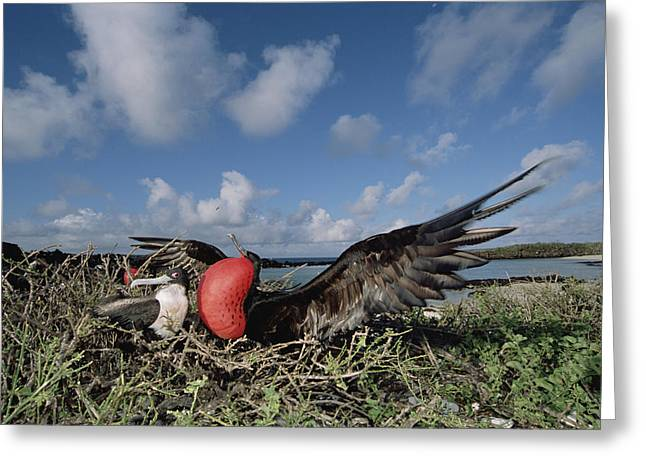 Wildlife Celebration Greeting Cards - Great Frigatebird Female Eyes Courting Greeting Card by Tui De Roy