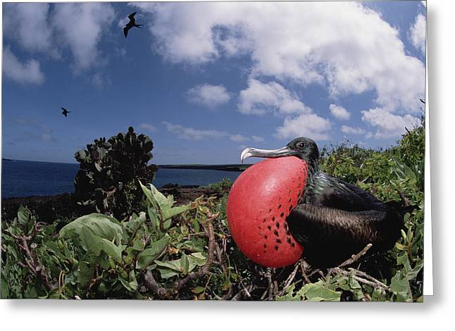 Wildlife Celebration Greeting Cards - Great Frigatebird Male Displaying Greeting Card by Tui De Roy