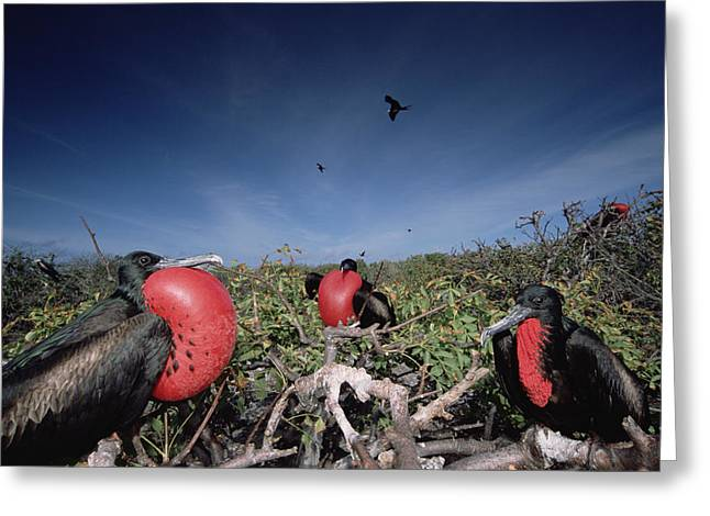 Wildlife Celebration Greeting Cards - Great Frigatebird Males In Courtship Greeting Card by Tui De Roy