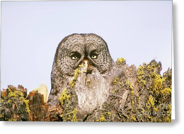 Great Gray Owl At Nest Site Greeting Card by Art Wolfe