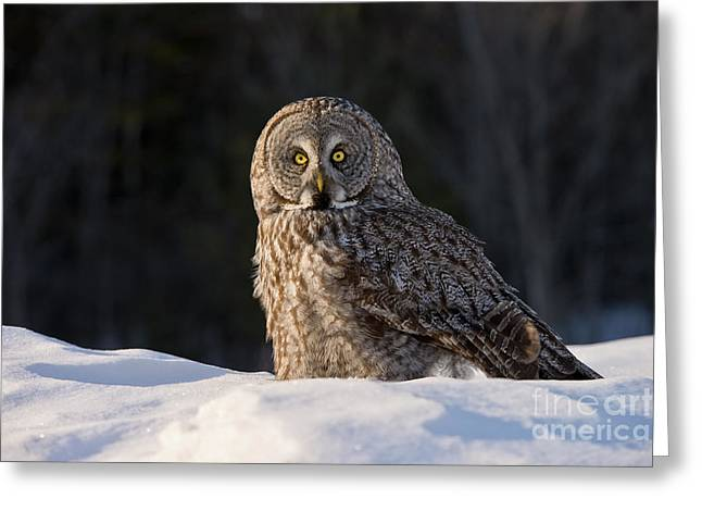 Michael Cummings Greeting Cards - Great Gray Owl In Snow Greeting Card by Michael Cummings